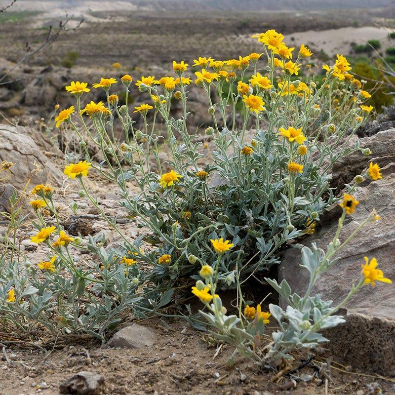 Desert Marigold Seeds Baileya American Meadows