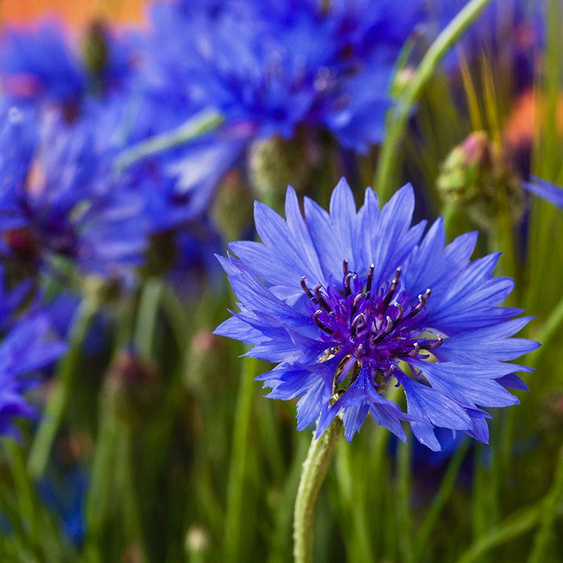 Blue Cornflower or Bachelor Button Seeds, Blue Cornflower, Bachelor Button Seeds, Centaurea cyanus