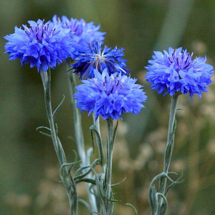 Blue Cornflower or Bachelor Button Seeds