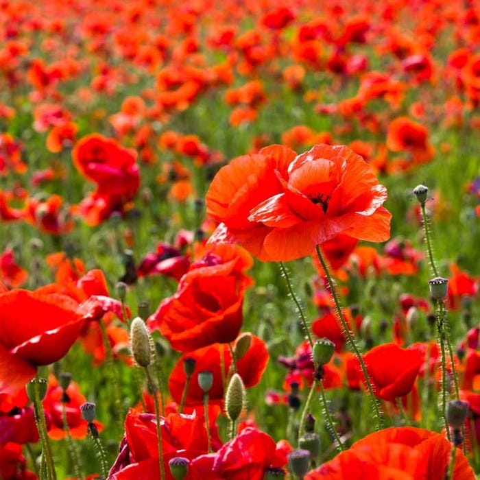 Red Poppy & Coreopsis Seed Combo