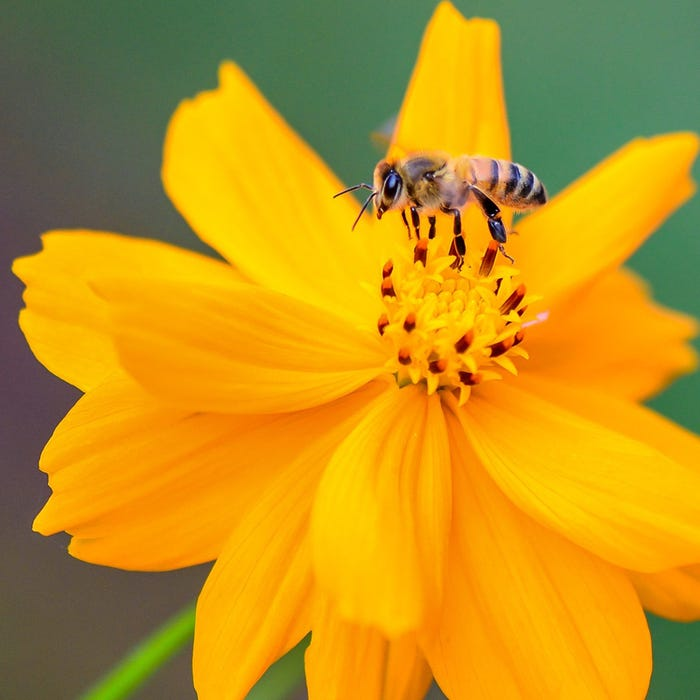 Honey Bee Wildflower Seed Mix