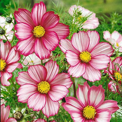 Cosmos Seeds Candystripe