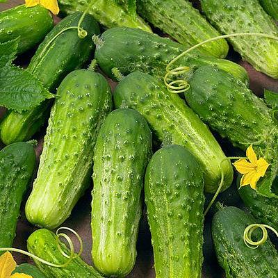 Cucumber 'Boston Pickling' Plant Care & Growing ...