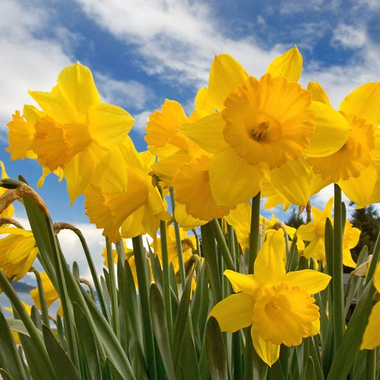 Great for pots or The Border Yellow Spring Flower Bulbs 15 Daffodil//Narcissus Dutch Master
