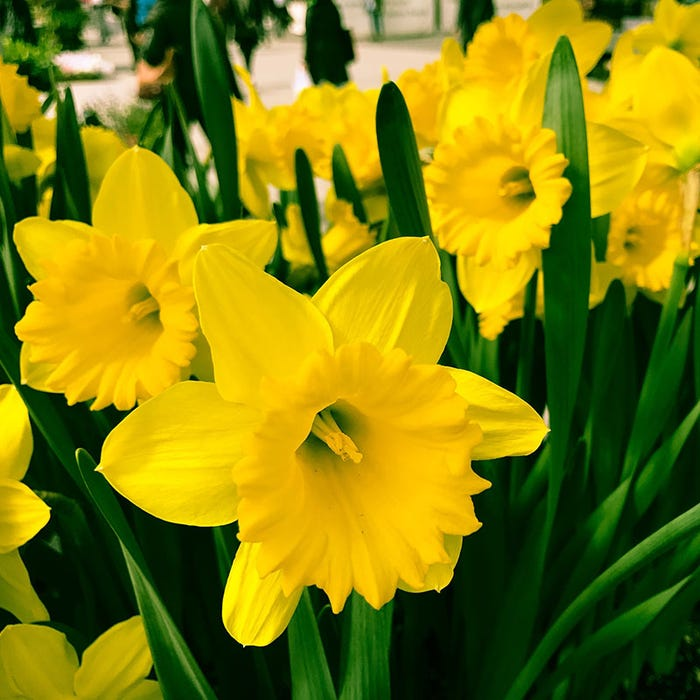 More Interesting Than Food Narcissus >> Dutch Master Trumpet Daffodil