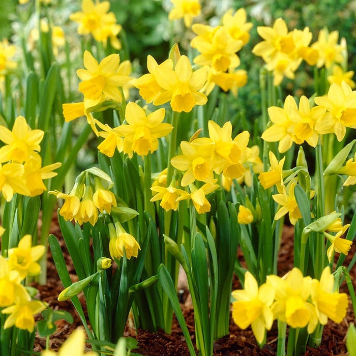 More Interesting Than Food Narcissus >> Tete A Tete Miniature Daffodil