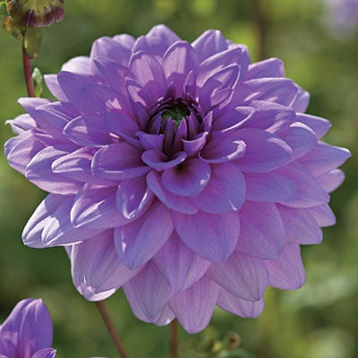 Semi-Dinnerplate Dahlia Blue Boy
