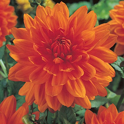 Semi-Dinnerplate Dahlia Prince of Orange
