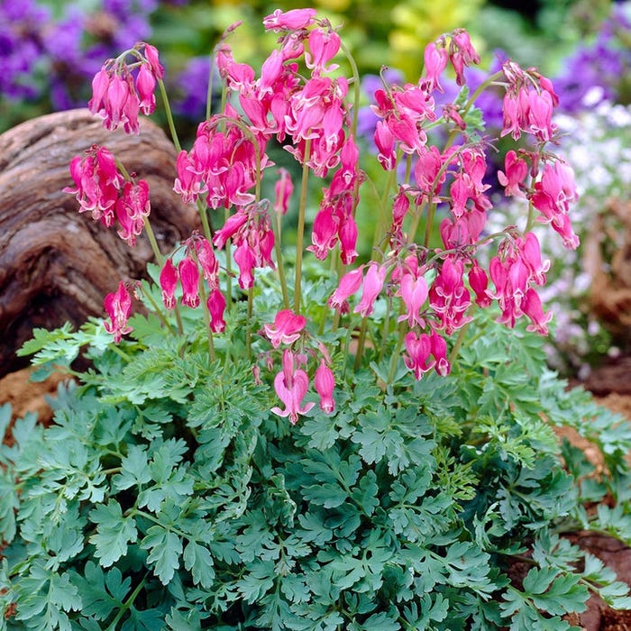King Of Hearts Bleeding Heart Dicentra American Meadows