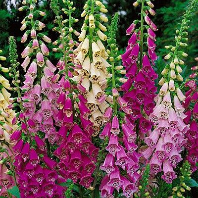 Perennial foxglove plants mixed colours