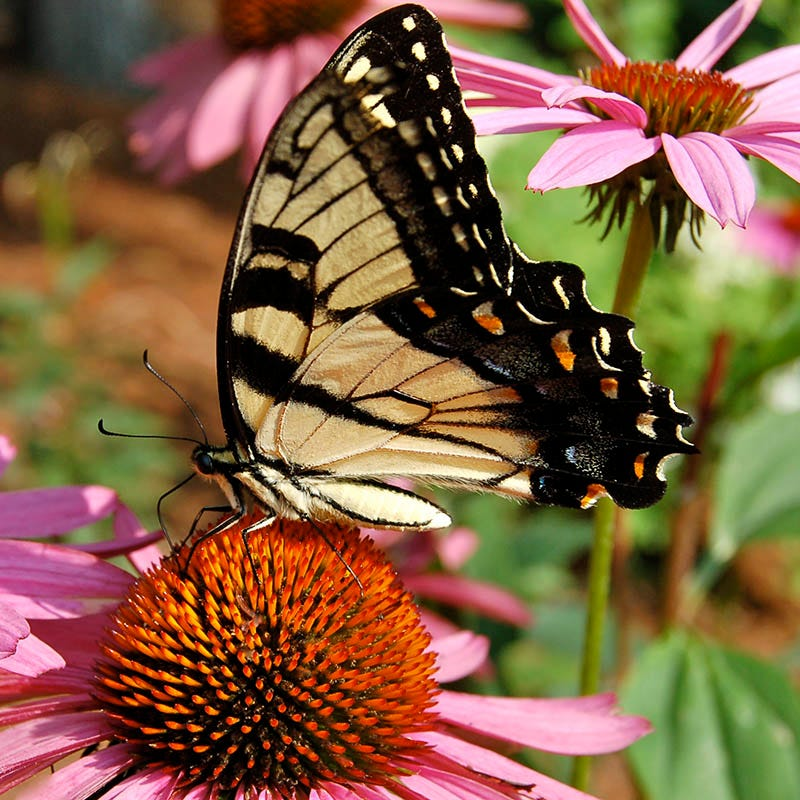 Butterfly Hummingbird Wildflower Seed Mix American Meadows