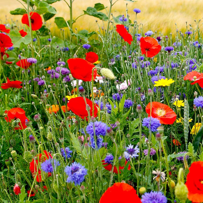 Fall Maximum Wildflower Seed Mix American Meadows