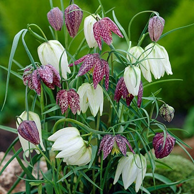 snake 39 s head fritillary plant care growing information. Black Bedroom Furniture Sets. Home Design Ideas
