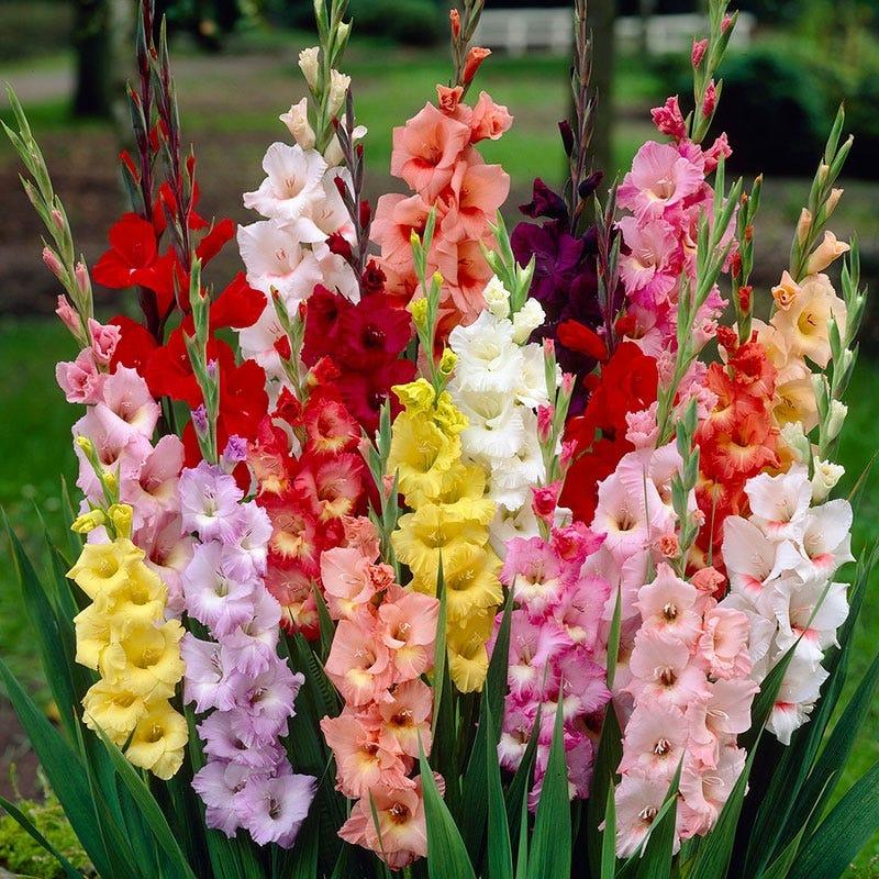 Rainbow Gladiolus Mix American Meadows