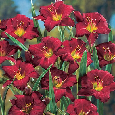 how to make your daylilies grow faster
