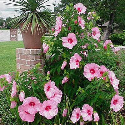 Hibiscus Lady Baltimore Hibiscus Hardy Hibiscus Perennials From