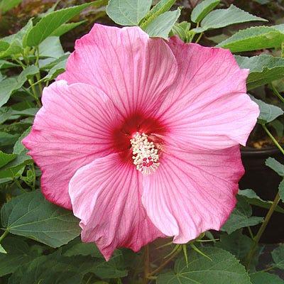 Hibiscus Sweet Caroline Hibiscus Hardy Hibiscus Perennials From