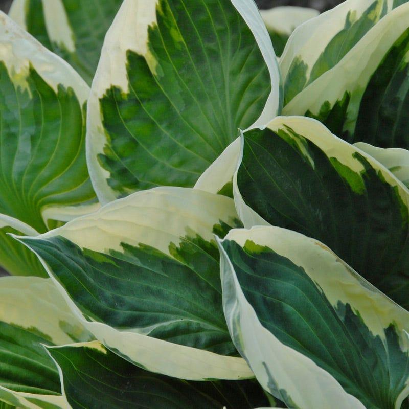 Minuteman Hosta Plantain Lily American Meadows