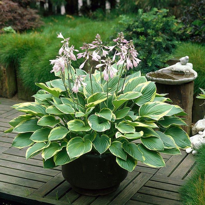 Aureomarginata Hosta Plantain Lily American Meadows