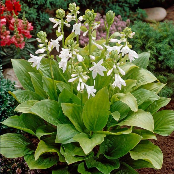 Royal Standard Hosta Plantain Lily American Meadows