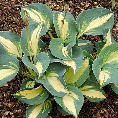 Hosta Dream Queen 3 Pot Hosta Plantain Lily Perennials From