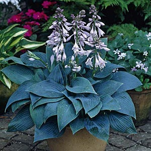 Halcyon Hosta Plantain Lily American Meadows