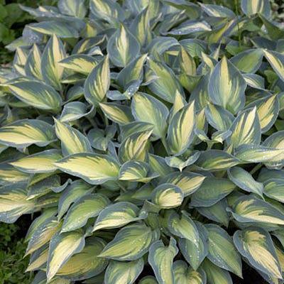Hosta June Hosta Plantain Lily Perennials From American Meadows