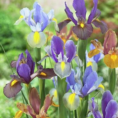 Dutch Iris Bulbs Tiger Mix