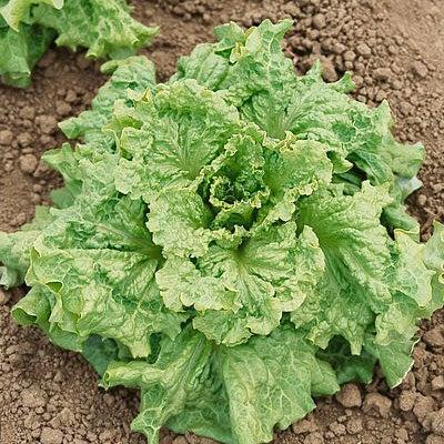 Lettuceblackseededsimpsonheirloom