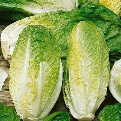 Сорта кочанных салатов с фото