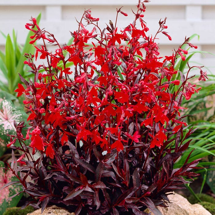 Queen Victoria Lobelia Cardinal Flower American Meadows