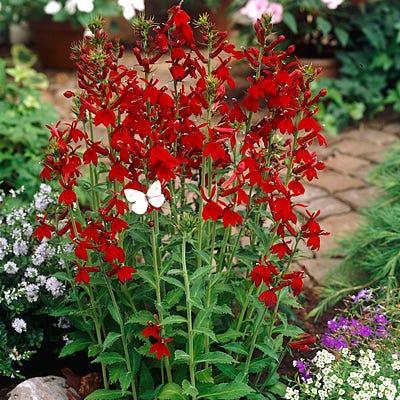 Cardinal Flower Compliment Deep Red