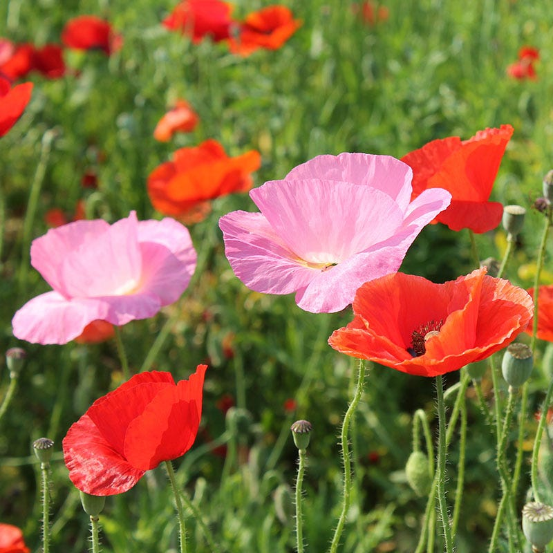 Mixed Red Poppy Seeds Papaver Rhoeas American Meadows