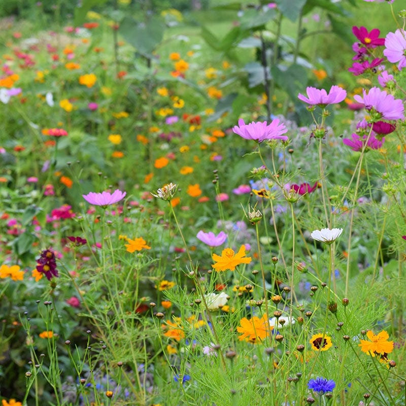 Northeast Wildflower Seed Mix American Meadows