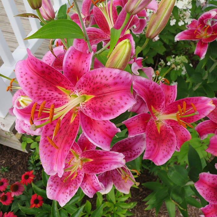 Stargazer Oriental Lily Bulbs Lilium American Meadows