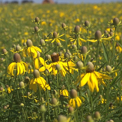 Native midwest wildflower seed mix american meadows mightylinksfo