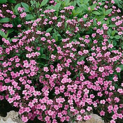 Soapwort Seeds Fandu