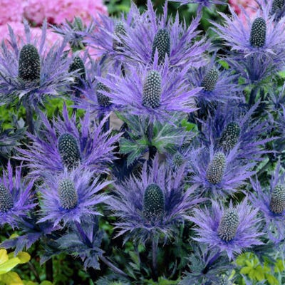 Blue Star Sea Holly - Eryngium | American Meadows