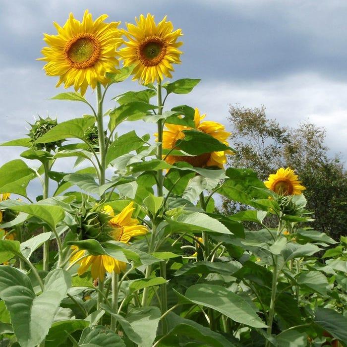 Sunflower Seeds Mammoth Grey Stripe