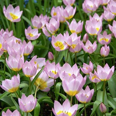 Lilac Wonder Wild Tulip