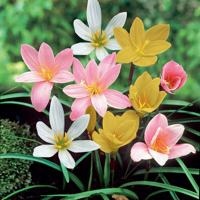 Rain Lily Mix Fairy Lily Zephyranthes American Meadows