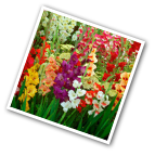 Gladiolus Rainbow Mix