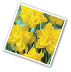 Double Daffodil Golden Ducat