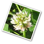 Dutch White Clover Seeds