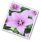 Balloon Flower Shell Pink