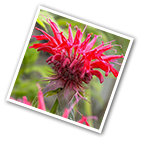 Bee Balm Colrain Red