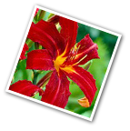 Daylily Crimson Pirate