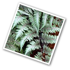 Japanese Painted Fern Red Beauty
