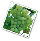 Seedless Grape Himrod