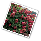 Oak Leaf Hydrangea Ruby Slippers